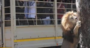 Un león mata a una turista estadounidense en un parque natural sudafricano Los jugadores de la selección alemana toman fotografías de un león durante una visita al Lion Park de Lanseria, cerca de Pretoria (Sudáfrica).