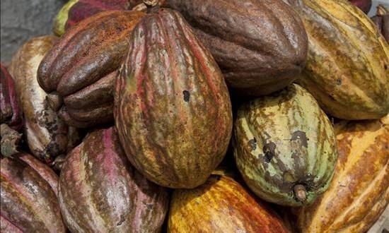 El cacao blanco peruano competirá por el premio internacional al mejor chocolate de origen Perú alberga el 60 % de las especies de cacao del mundo y es uno de los principales productores, según la Asociación Peruana de Productores de Cacao (Appcacao).