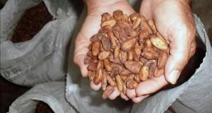 El apetito por el chocolate consume la Amazonía Imagen de un productor que cultiva cacao en áreas de la Amazonía.