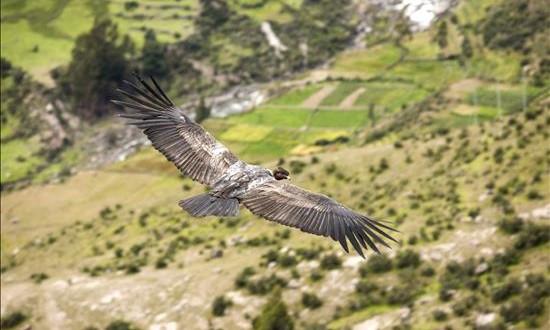 La incógnita del cóndor, el rey de los Andes de Perú Fotografía de abril de 2015 del gigantesco cóndor andino (vultur gryphus) en el cañon de Mayobamba, en el valle del Sondondo, al sur del departamento andino de Ayacucho en las alturas andinas de Perú.