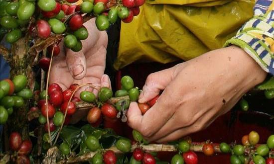La Unión Europea apoya proyectos de caficultores peruanos La asociación, que inauguró el V Encuentro Nacional de Jóvenes Cafetaleros, señaló que la intención de estos proyectos es promover una caficultura sostenible que saque a los productores de la pobreza y les permita acceder a salud y jubilación.