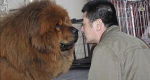 Un estudio sitúa el origen del perro doméstico hace 33.000 años en el sureste de Asia Un mastin tibetano durante la 7ª edición de la Exposición de Mastines Tibetanos, celebrada en China.